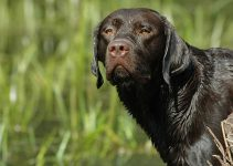 How to Connect Your Labrador's Home Behavior with Its Hunting Skills